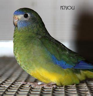 turq-type-sauvage-simple-facteur-fonce-femelle-green-d-hen.jpg